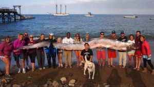 a-Island-Calif_-A-marine-science-instructor-snorkeling-off-the-Southern-California-coast-spotted-the-silvery-carcass-of-the-18-foot-long-serpent-like-oarfish