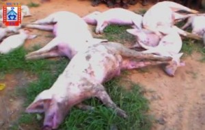 Zambia: Unscrupulous Thieves Use Poison to Steal Pigs