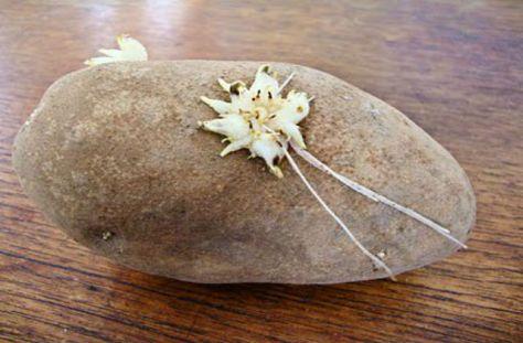 Doctors-remove-potato-vagina